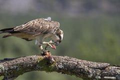 pigargo masculino que alimenta en pescados y zambullirse Foto de archivo