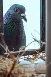 Pigeon à autodirecteur de poule observant ses oeufs hacher photo libre de droits