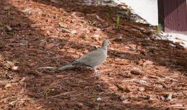 Pigeon à la paix Photo stock