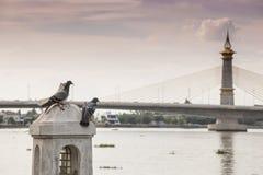 Pigeon à la rivière Photo libre de droits