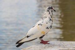 Pigeon à la rivière Photo stock