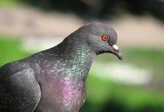 Pigeon à Riga Photo libre de droits