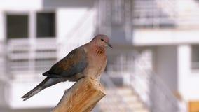 Pigeon égyptien se reposant sur une branche sur le fond de l'hôtel banque de vidéos