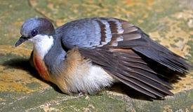 Pigeon 1 de purge-coeur de Luzon photographie stock