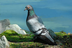 Pigeon. A pigeon posing Stock Photo