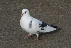 Pigeon-1 Imagens de Stock