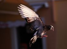 Pigeon. A pigeon caught taking off in early evening light Royalty Free Stock Photo