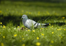 Pigeon. A pigeon Royalty Free Stock Photography