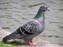 Pigeon. A pigeon Royalty Free Stock Photos