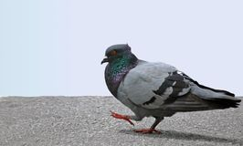 Pigeon. A pigeon walking on a walkway Royalty Free Stock Photo