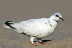 Pigeon. On the beach Stock Photography