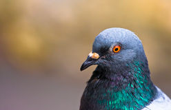 Pigeon. Nice close up of a pigeon royalty free stock images