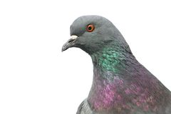 Pigeon. Portrait of pigeon isolated on white background royalty free stock photography