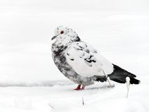 Pigeon. White with black pigeon sitting on a snow Royalty Free Stock Images