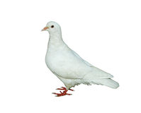 Pigeon Royalty Free Stock Photography