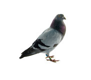Pigeon Images stock