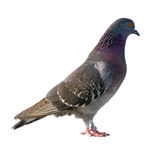 Pigeon. Isolated on white background royalty free stock photography