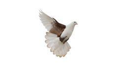 Free Pigeon Royalty Free Stock Images - 1578449