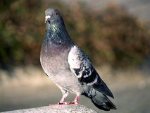 Pigeon. Sitting on rock, close up royalty free stock image