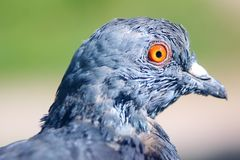 Free Pigeon Stock Images - 18242764