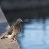 Pigeon Royalty Free Stock Photos