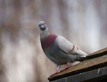 Pigeon. A pigeon sitting on a roof royalty free stock images