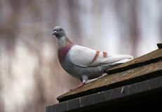 Pigeon. A pigeon sitting on a roof royalty free stock photo