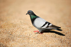 The pigeon Royalty Free Stock Image