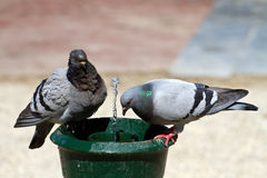 Pigeon. In amsterdam near the water fountain stock image