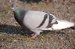 Pigeon 2 Stock Photos