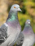 Pigeon 2. A portrait of a rock pigeon Royalty Free Stock Photography