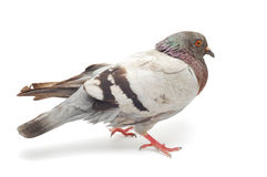 Pigeon Stock Images