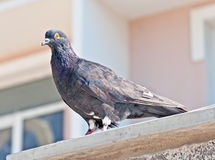 A pigeon Royalty Free Stock Photography