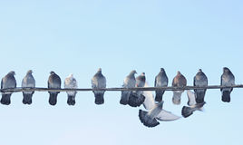 Pigeon. Flying pigeon tries to sit on the wire stock photos