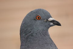 Pigeon. A pigeon from Deva city, on my street, very courios Royalty Free Stock Photography