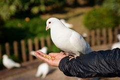 Pigeon. Looks very white and pure. It's very beautiful Stock Photos