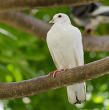 Pigeon. A white lone pigeon on a tree branch Stock Photos