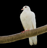 Pigeon. A lone white pigeon on a tree branch with black background stock photos