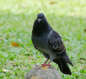 Pigeon. A pigeon on a stud staring forward Stock Photo