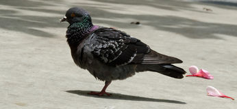 Pigeon. A fluffy pigeon standing on one leg Royalty Free Stock Image