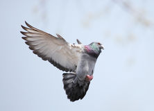 Pigeon. Grey pigeon flying in the sky Stock Images