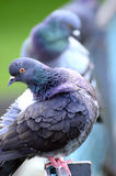 Pigeon. S sitting on a fence Stock Image
