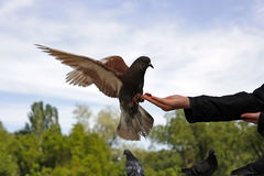 Pigeon. On the hand of young women stock images
