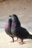 Pigeon. Two pigeons kissing on rocks Stock Photography