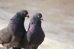 Pigeon. Two pigeons stand on rocks Stock Photo