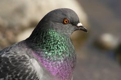 Pigeon. Close up of head of common pigeon Stock Photos