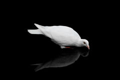 Pigeon. The white pigeon on a black background with reflection royalty free stock photo