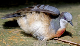 Pigeon 3 de purge-coeur de Luzon photographie stock libre de droits