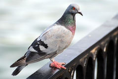 Pigeon. The pigeon on the border Stock Images