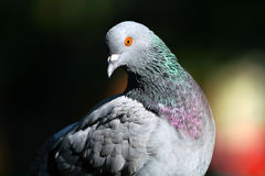 Beautiful Pigeon Royalty Free Stock Photos